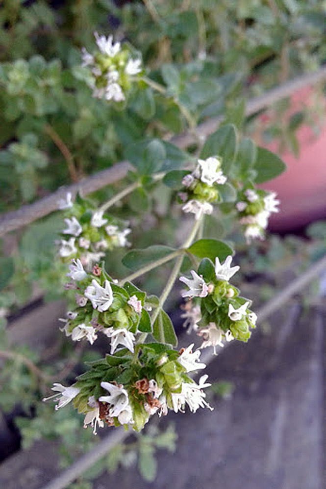 Origanum vulgare - Canto das Flores 1