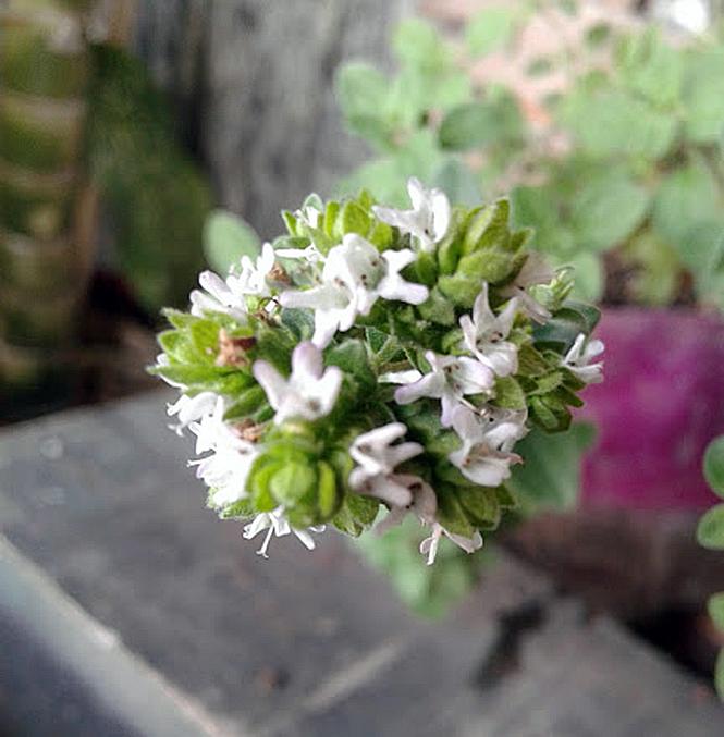 Origanum vulgare - Canto das Flores 3