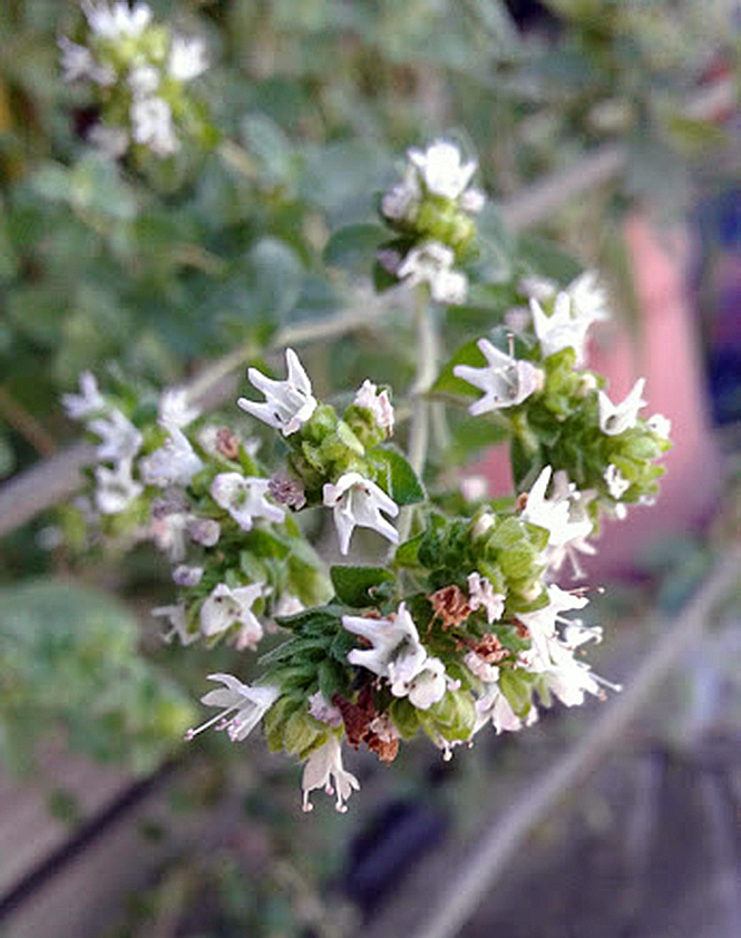 Origanum vulgare - Canto das Flores 4