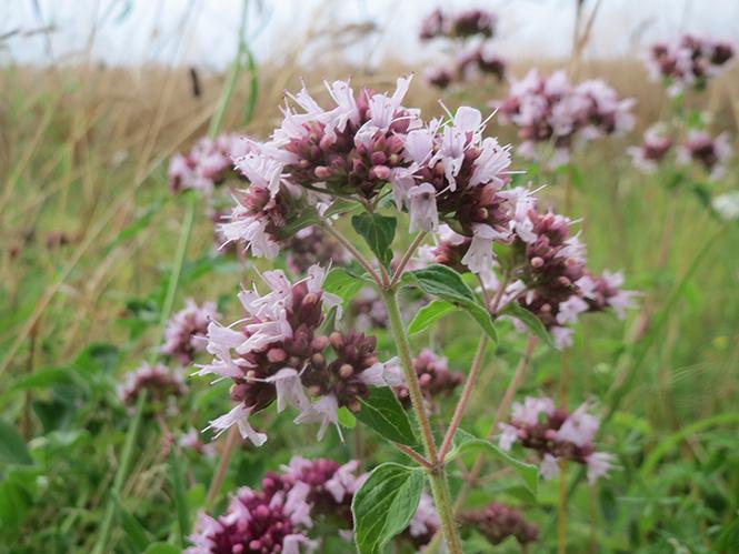 Origanum vulgare - Canto das Flores 5
