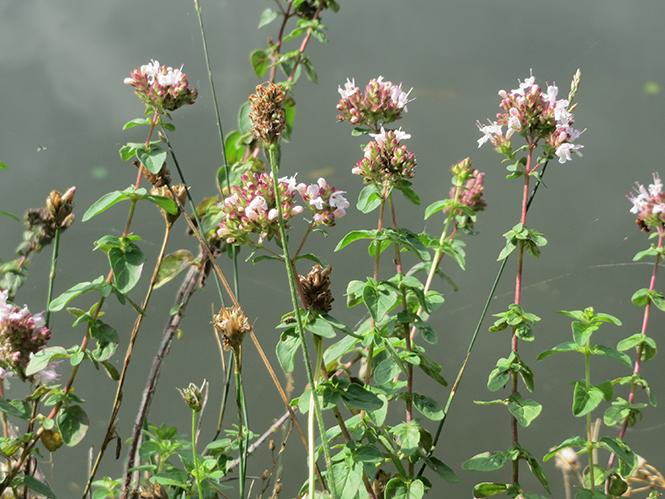 Origanum vulgare - Canto das Flores 6