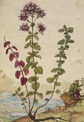 Origanum vulgare - De materia medica - Mattioli