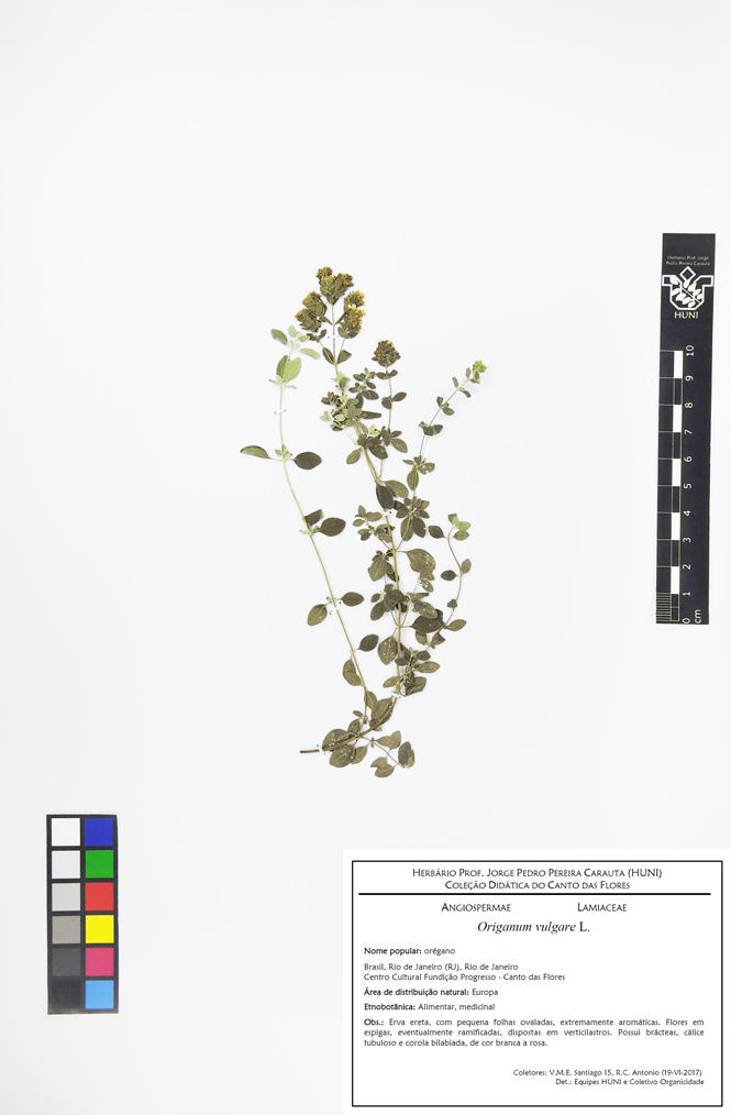Origanum vulgare - exsicata com etiqueta corrigida