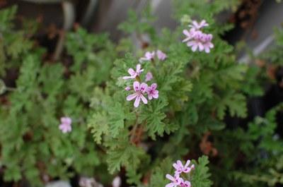 Pelargonium graveolens -  salchuiwt