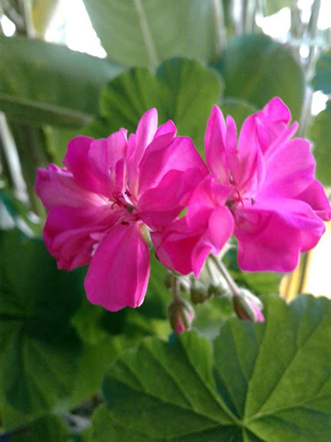 Pelargonium x hortorum - Canto das Flores 1