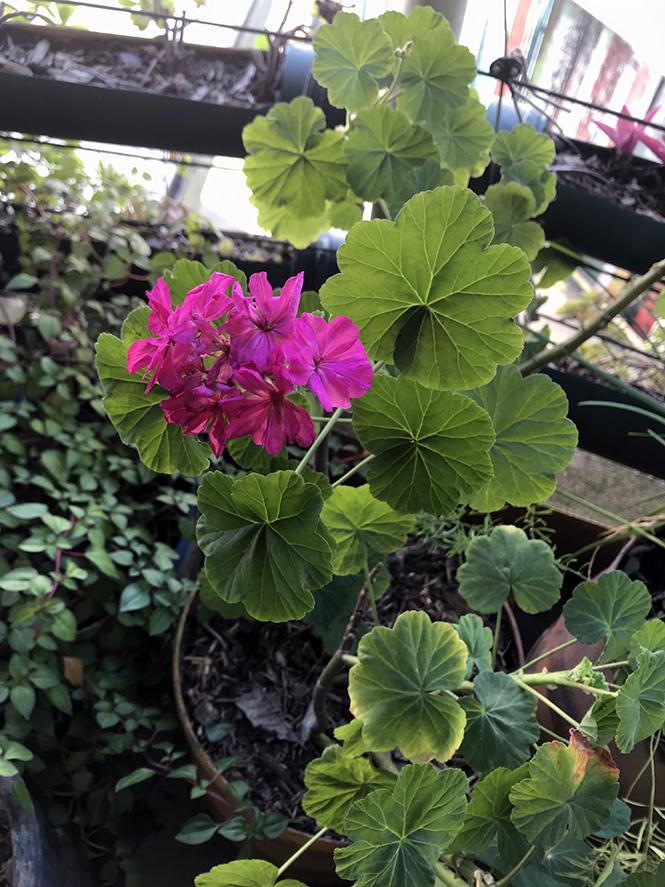 Pelargonium x hortorum - Canto das Flores 3