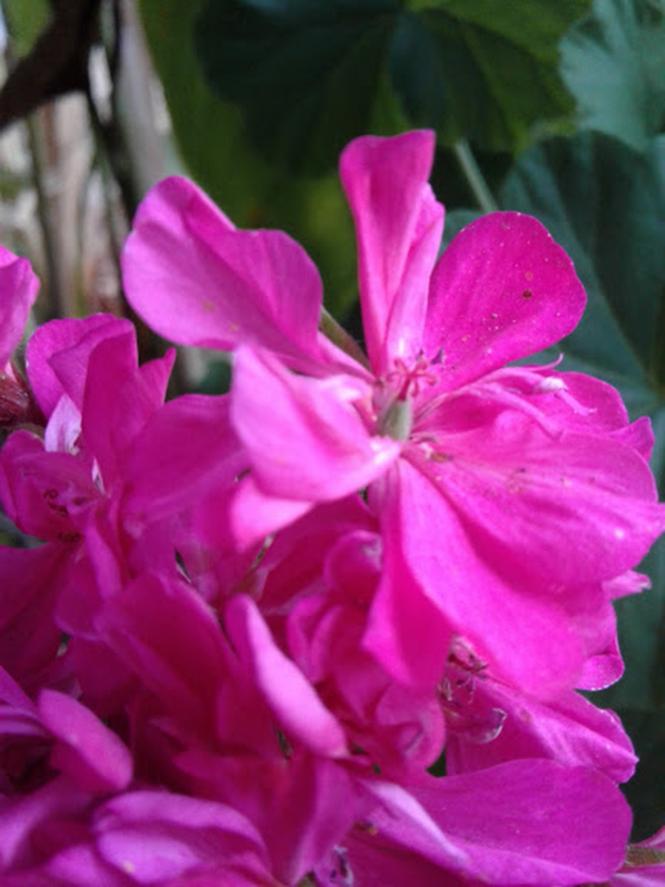 Pelargonium x hortorum - Canto das Flores 5