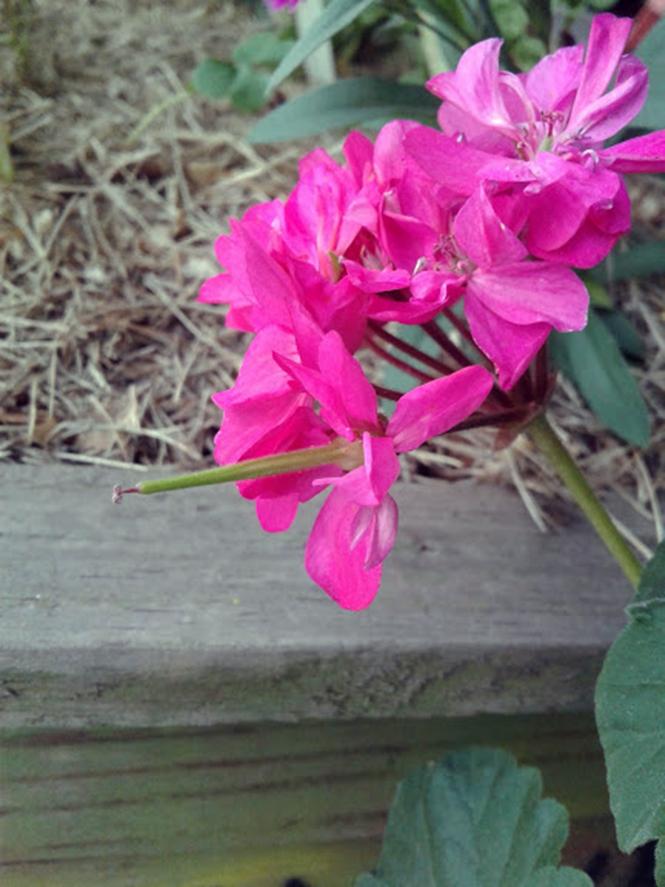 Pelargonium x hortorum - Canto das Flores 6