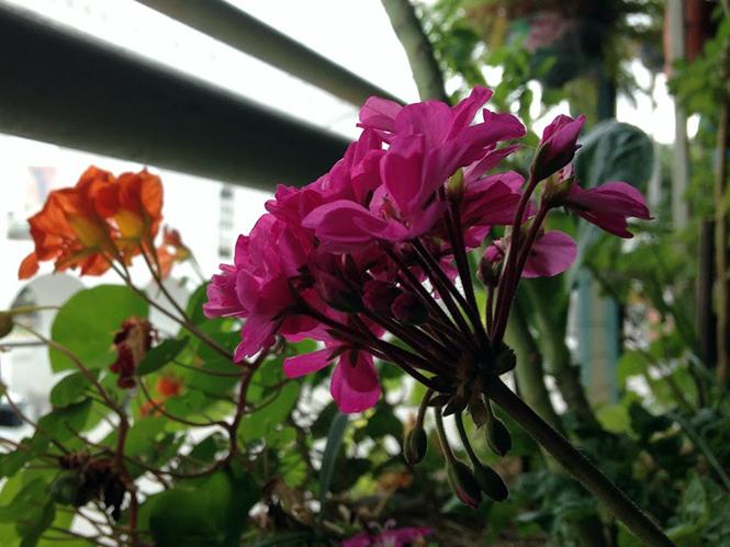 Pelargonium x hortorum - Canto das Flores 7
