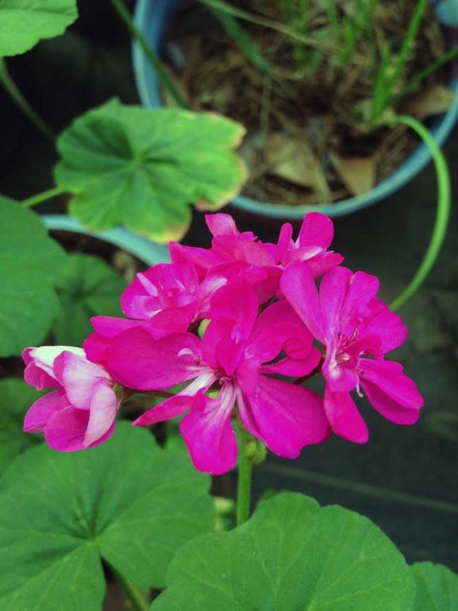 Pelargonium x hortorum - Canto das Flores 8
