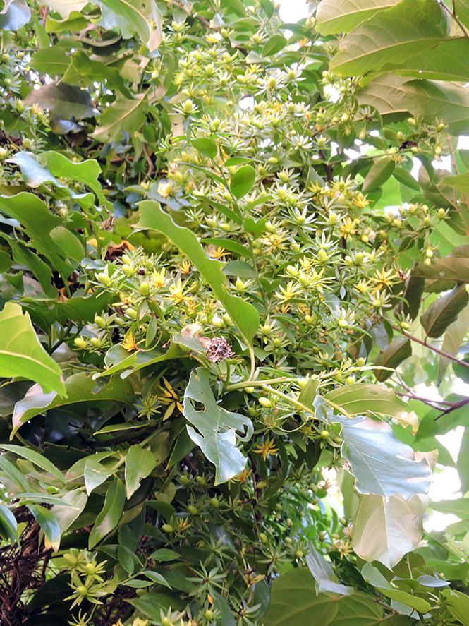 Pereskia aculeata - Anna - Canto das Flores 3