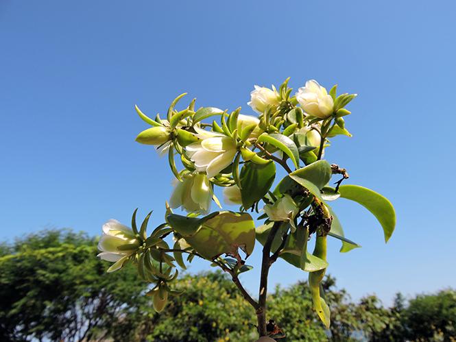 Pereskia aculeata - Anna - Canto das Flores 4