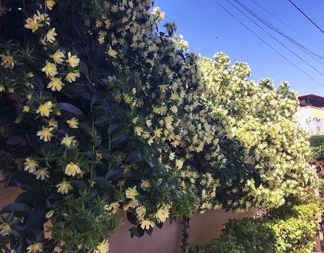 Pereskia aculeata - Douglas - Canto das Flores 1