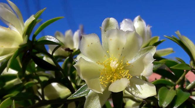 Pereskia aculeata - Douglas - Canto das Flores 12