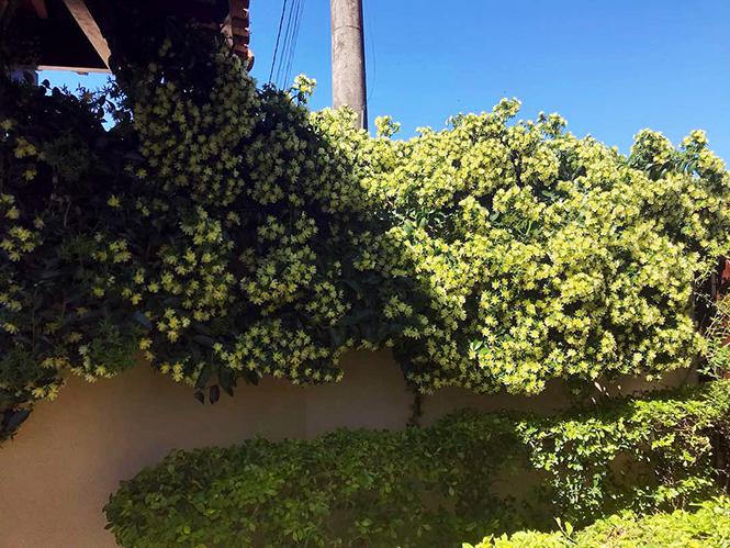 Pereskia aculeata - Douglas - Canto das Flores 2