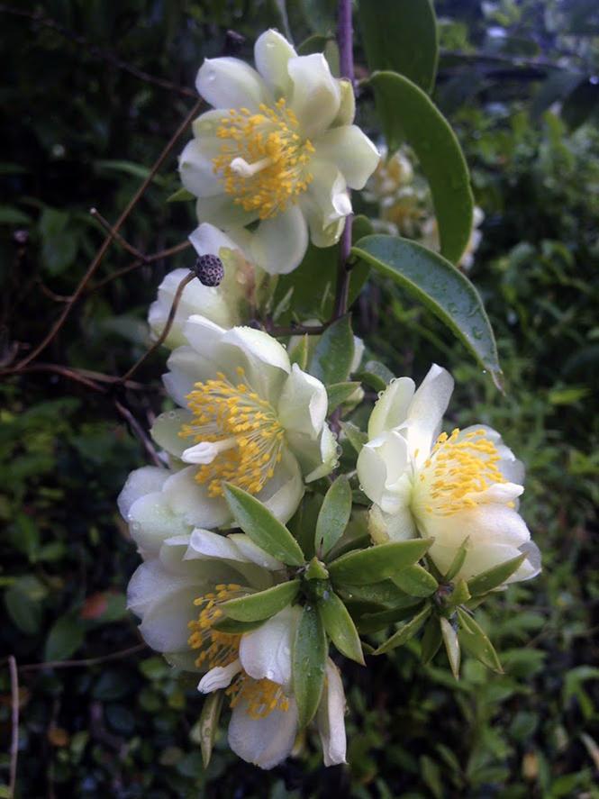 Pereskia aculeata - Organicidade - Canto das Flores 7