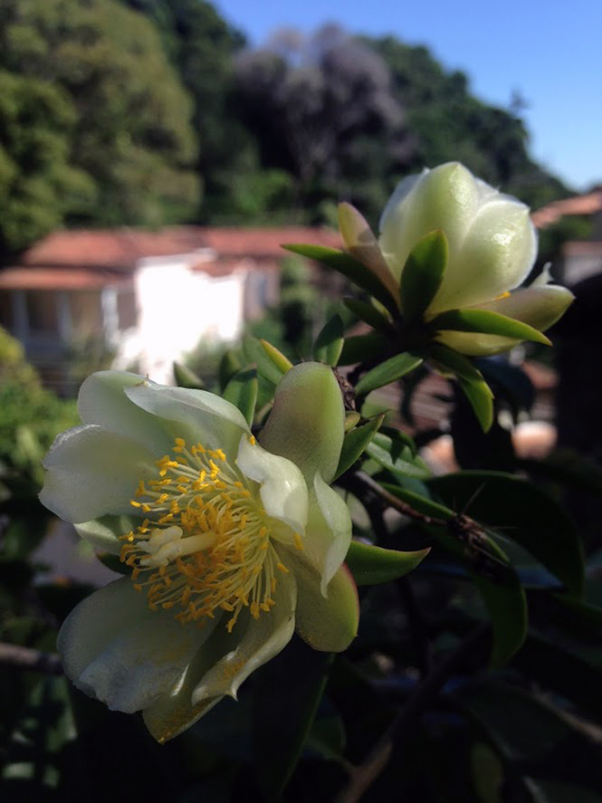 Pereskia aculeata - Organicidade - Canto das Flores 8