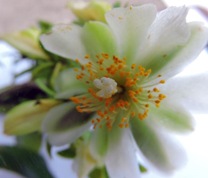 Pereskia aculeata - Rachel Nogueira - Canto das Flores 10