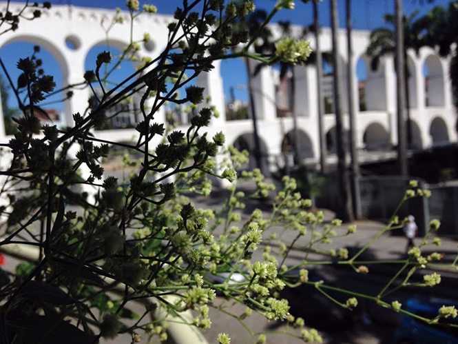 Pfaffia glomerata - Canto das Flores 2