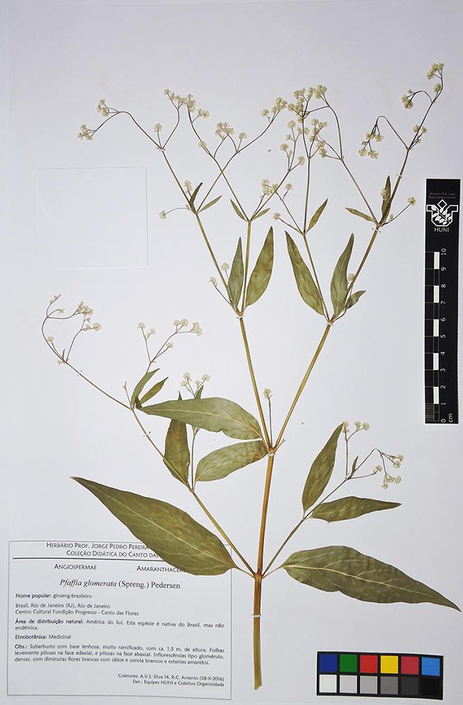 Pfaffia glomerata - exsicata