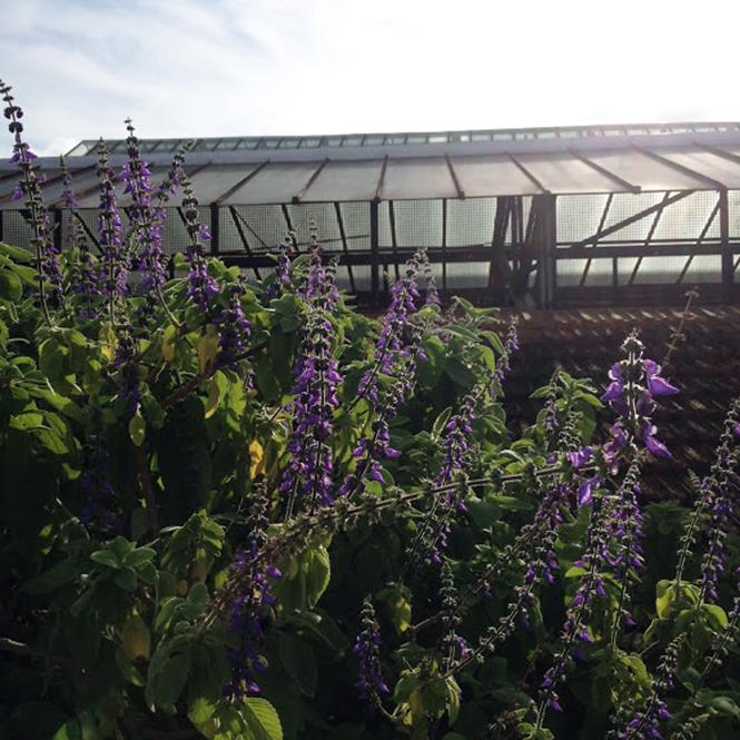 Plectranthus barbatus - Canto das Flores 3
