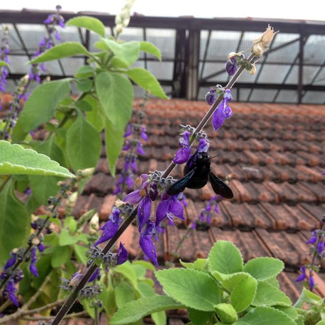 Plectranthus barbatus - Canto das Flores 5