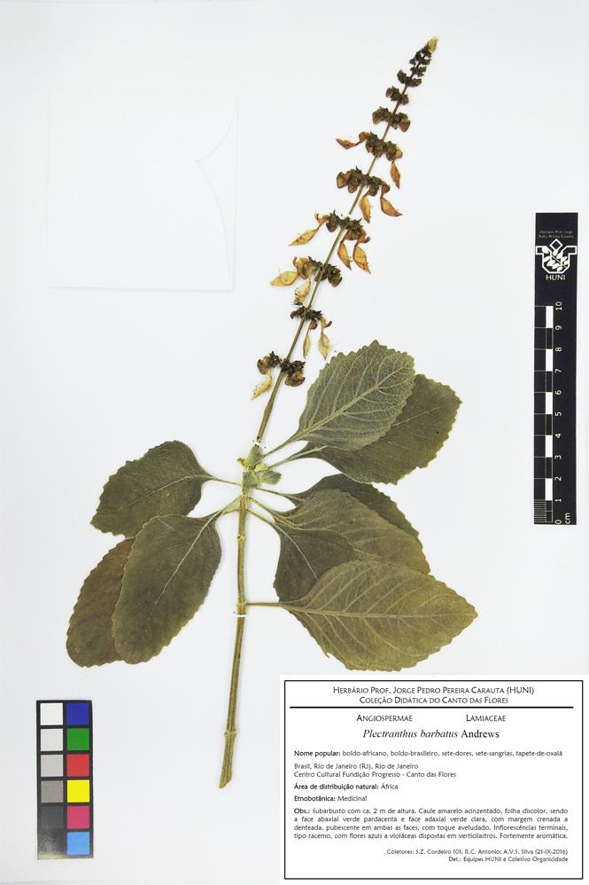 Plectranthus barbatus - Exsicata corrigida