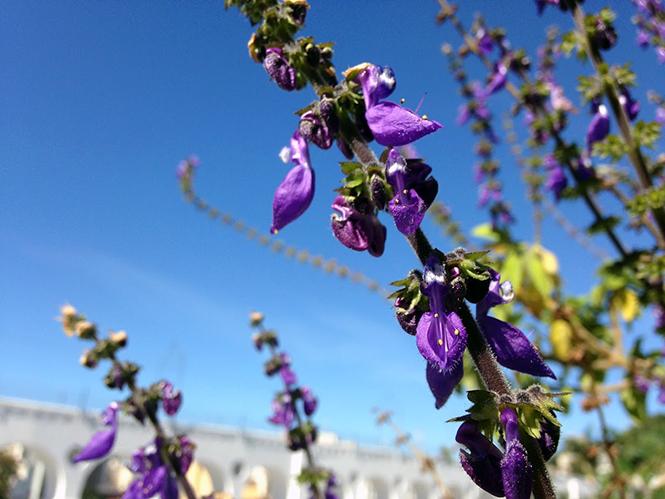 Plectranthus barbatus - Organicidade - Canto das Flores 7