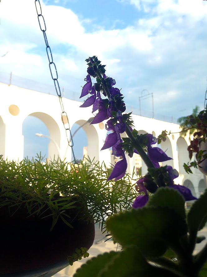 Plectranthus barbatus - Organicidade - Canto das Flores 8