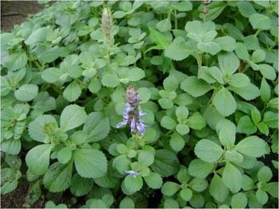Plectranthus ornatus - Horto didático de plantas medicinais do HU-CCS