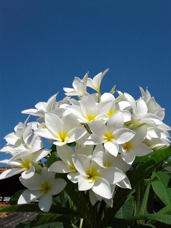 Plumeria rubra - Canto das Flores 1