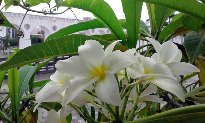 Plumeria rubra - Canto das Flores 2