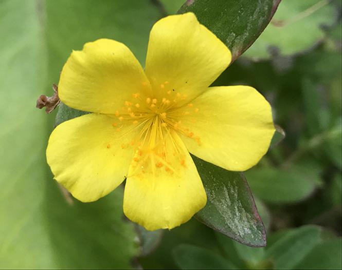 Portulaca umbraticola - Canto das Flores 2