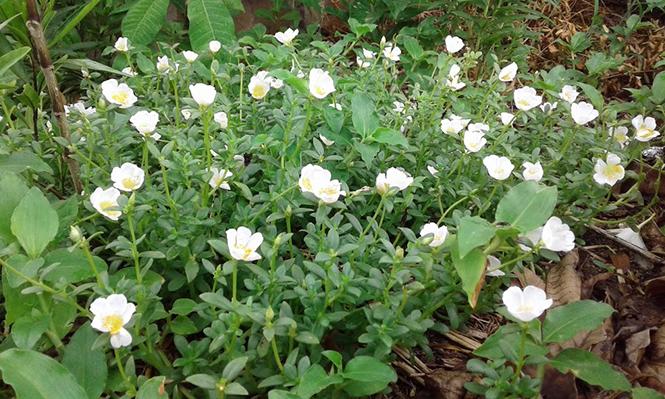 Portulaca umbraticola - Canto das Flores 6