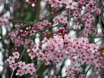 Prunus serrulata - Cassiopé 2010