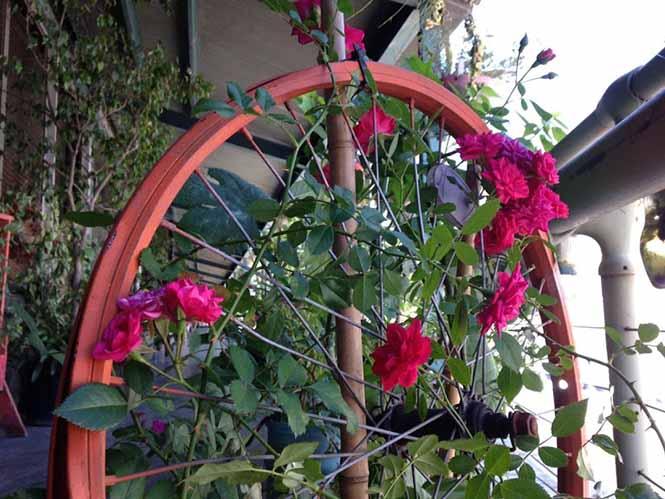 rosa selvagem clareador de virilha
