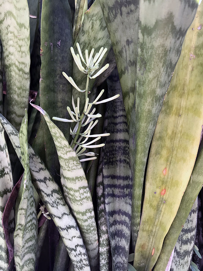 Sansevieria trifasciata - Canto das Flores 8