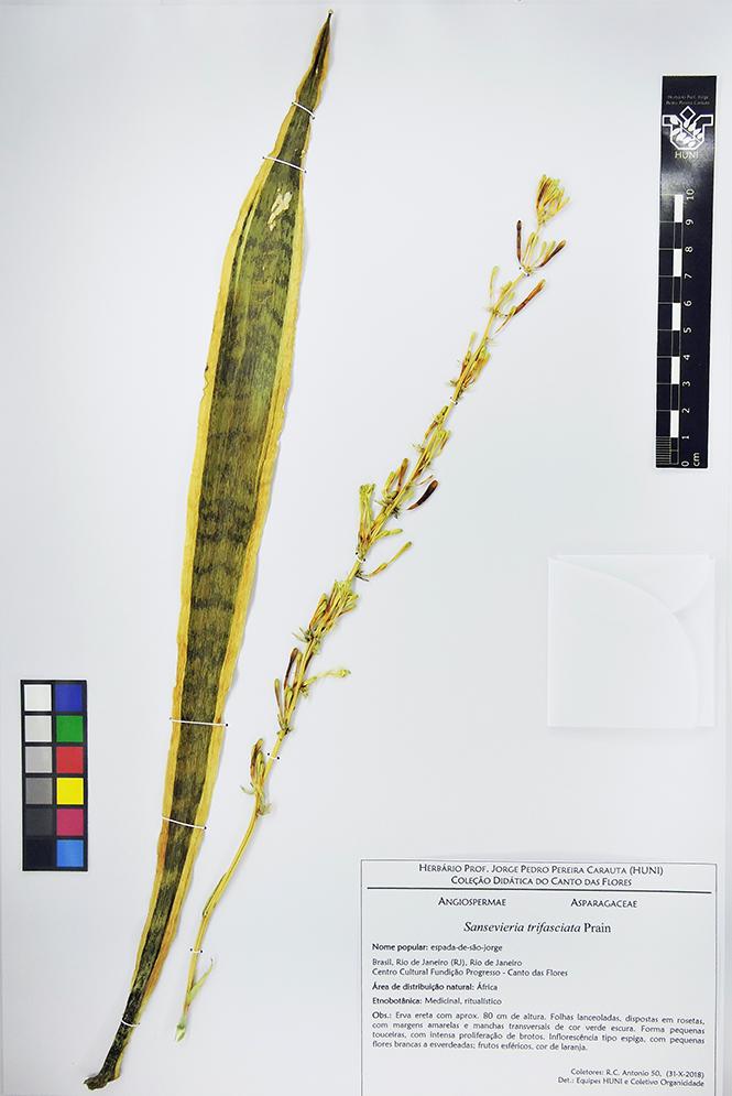 Sansevieria trifasciata - exsicata