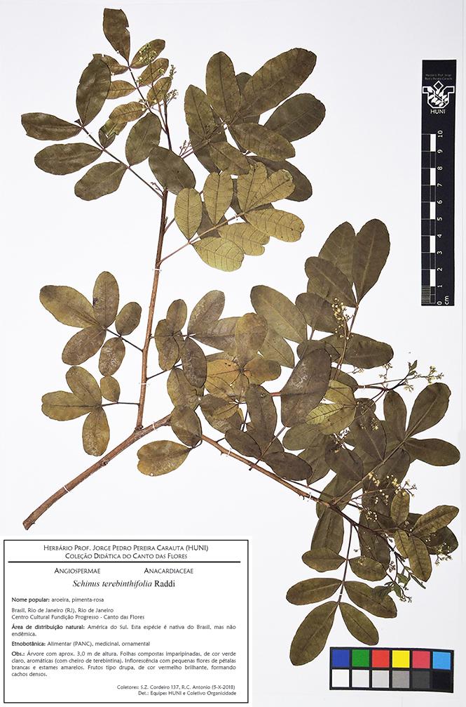 Schinus terebinthifolia - Exsicata corrigida