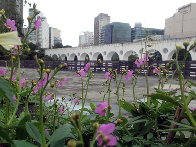 Talinum fruticosum - Canto das Flores 1