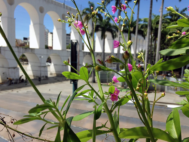 Talinum fruticosum - Canto das Flores 2