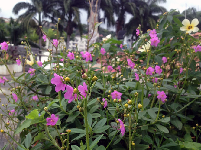 Talinum fruticosum - Canto das Flores 3