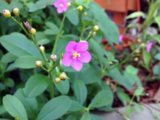 Talinum fruticosum - Canto das Flores 4