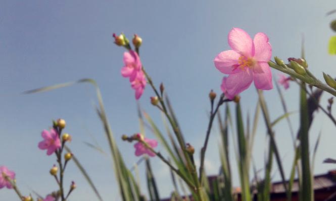 Talinum fruticosum - Canto das Flores 5