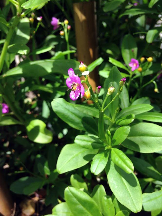 Talinum fruticosum - Canto das Flores 8