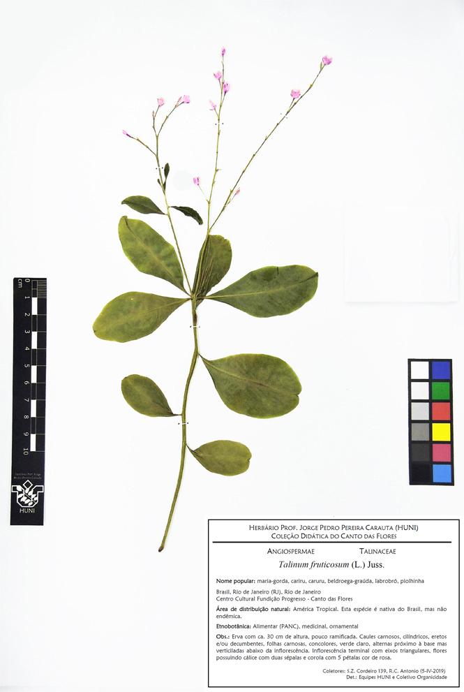 Talinum fruticosum - Exsicata corrigida