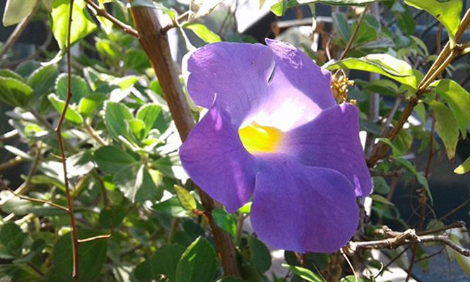 Thunbergia erecta - Canto das Flores 1