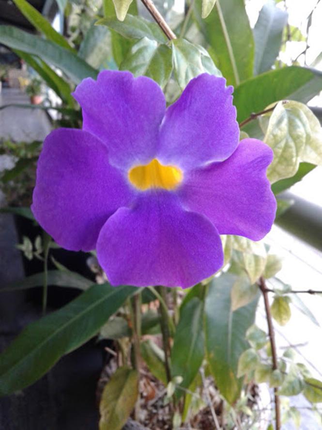 Thunbergia erecta - canto das Flores 2