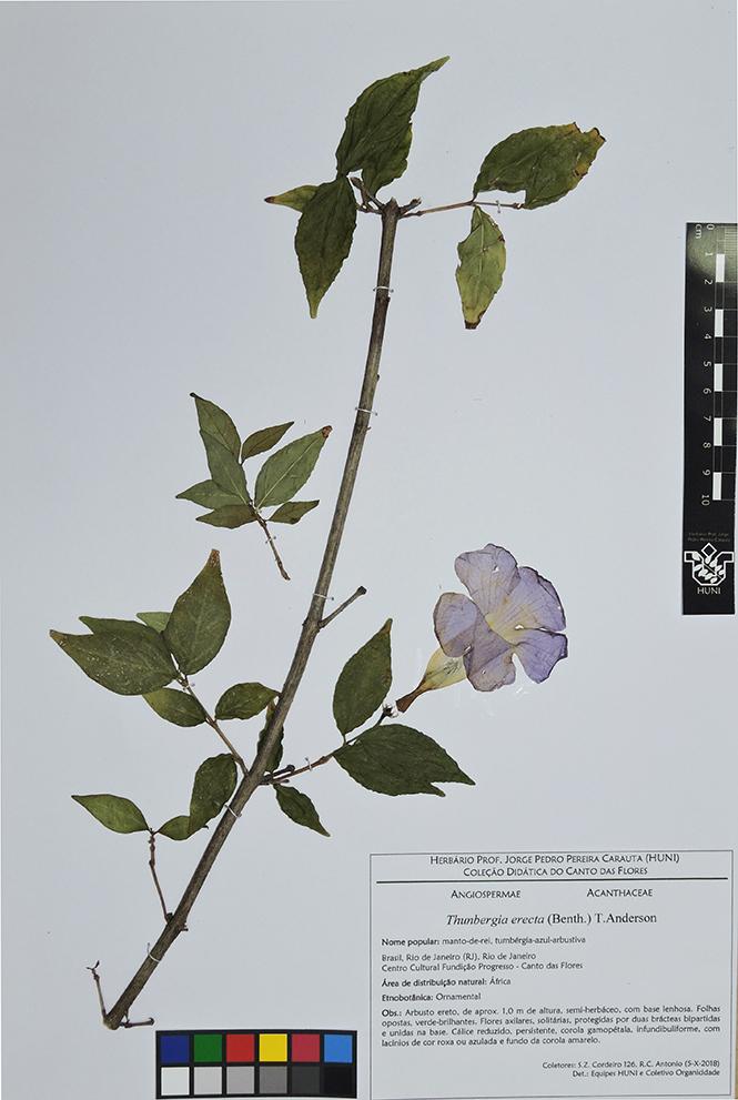 Thunbergia erecta - Exsicata