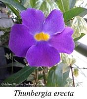Thunbergia erecta - prancha